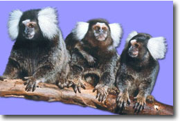 Marmosets on Branch